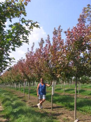 Maple Trees Lewis Brothers Tree Farm Nursery Iowa City