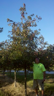 oak trees iowa