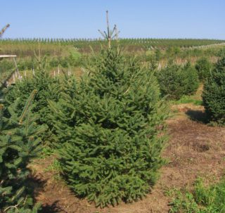 evergreen trees iowa city
